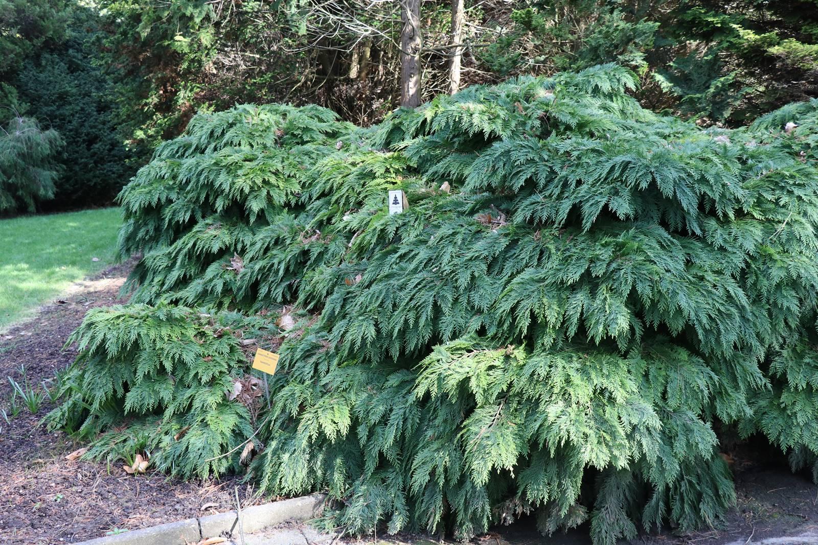 Chamaecyparis lawsoniana Tamariscifolia