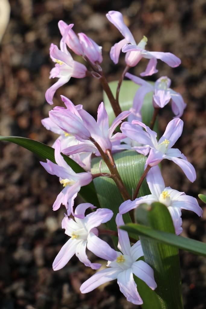 Chinodoxa forbesii Pink Giant
