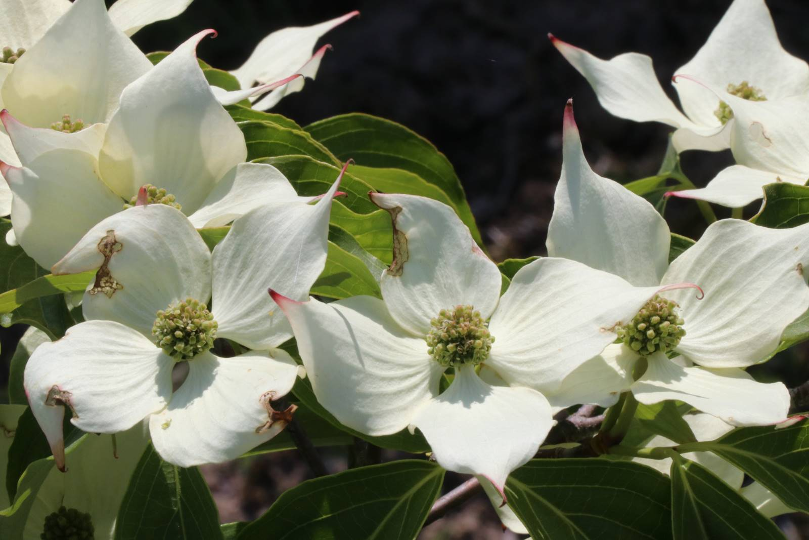 Cornus kousa All Summer