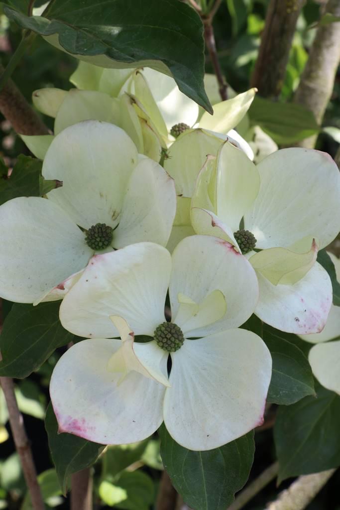 Cornus x rutgersensis Venus