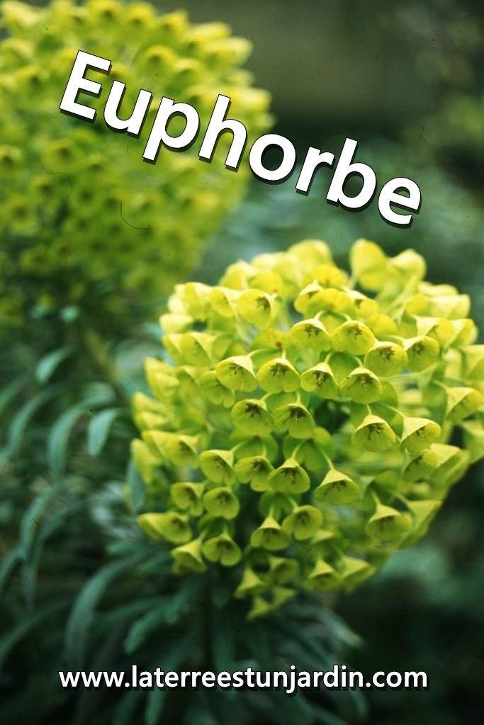 Euphorbe