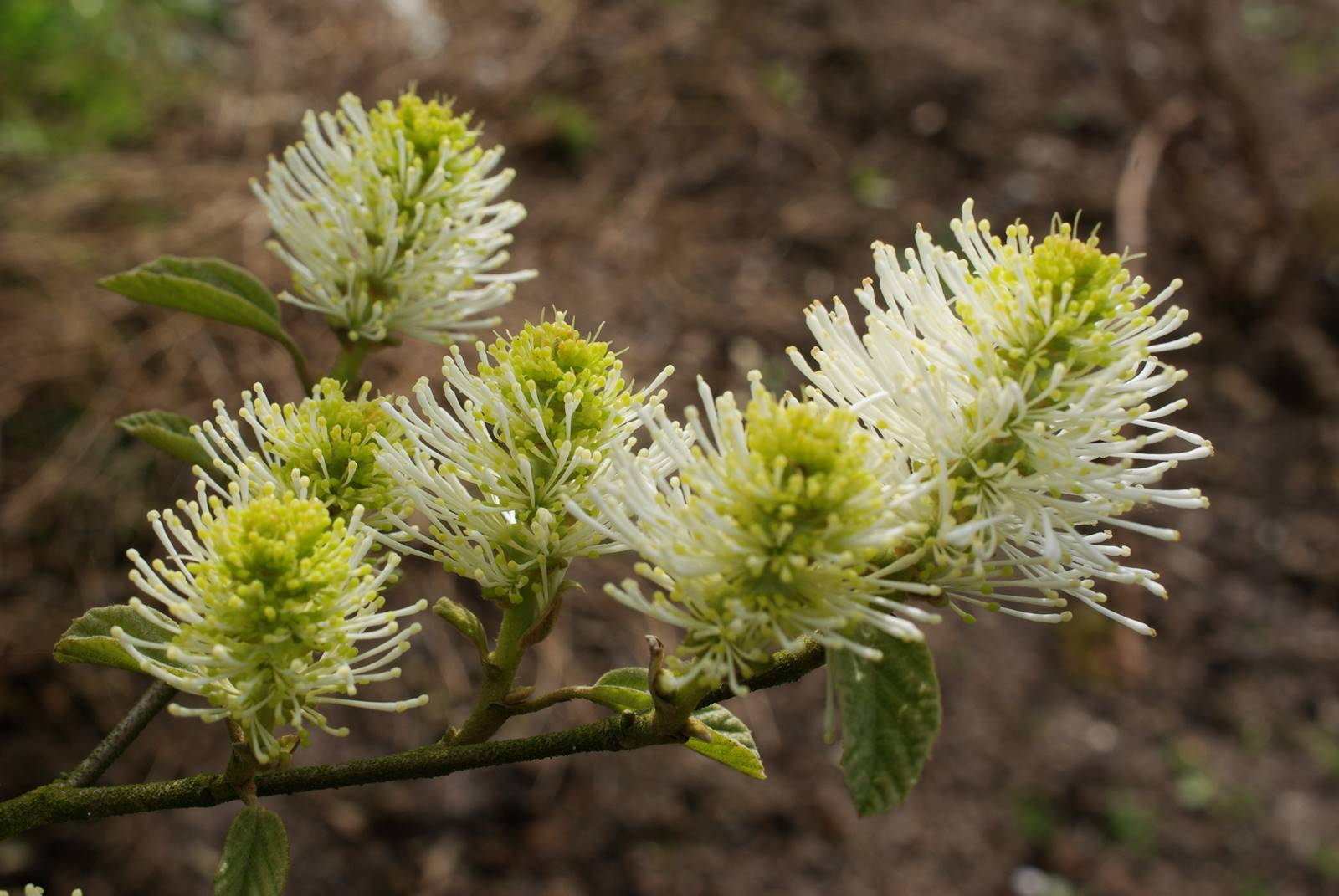 Forthergilla major