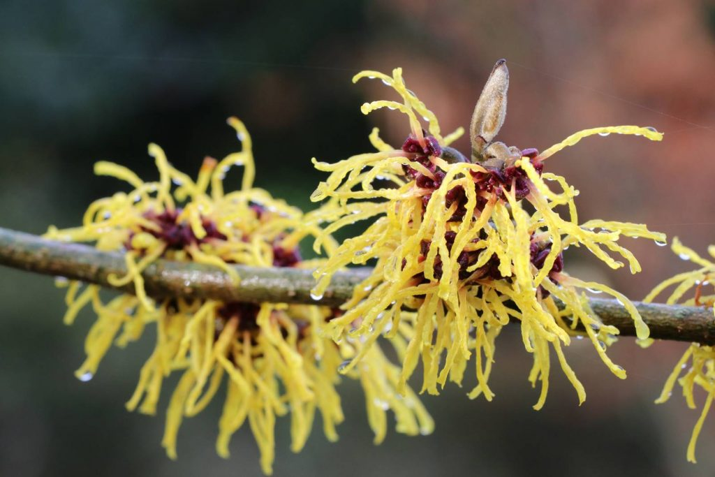 Hamamelis x intermedia Advent