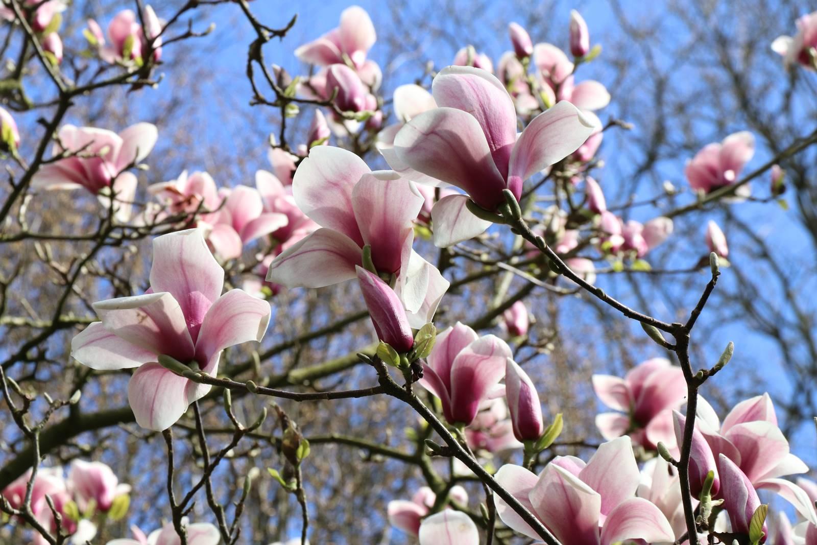 Magnolia Hot Lips