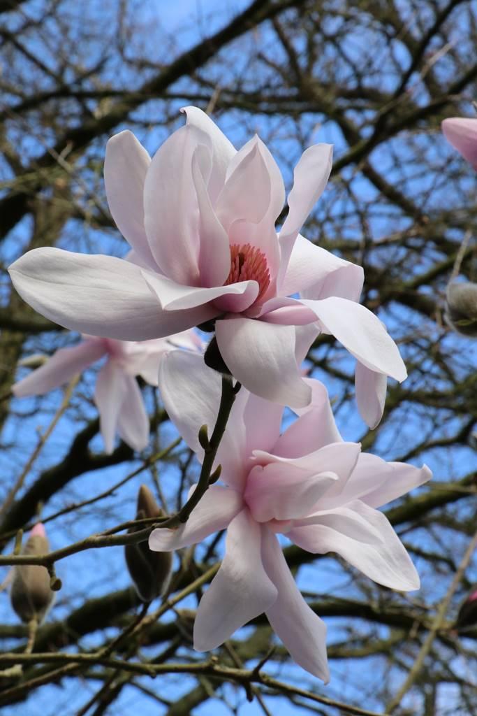 Magnolia campbellii var. mollicomata