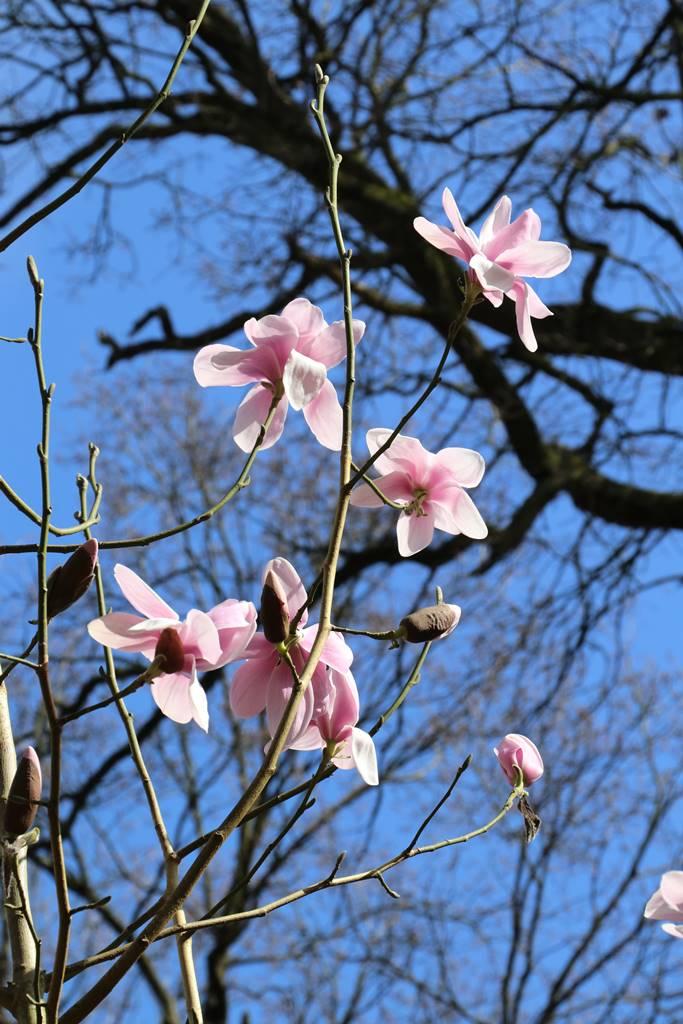 Magnolia dawsoniana Barbara Cook