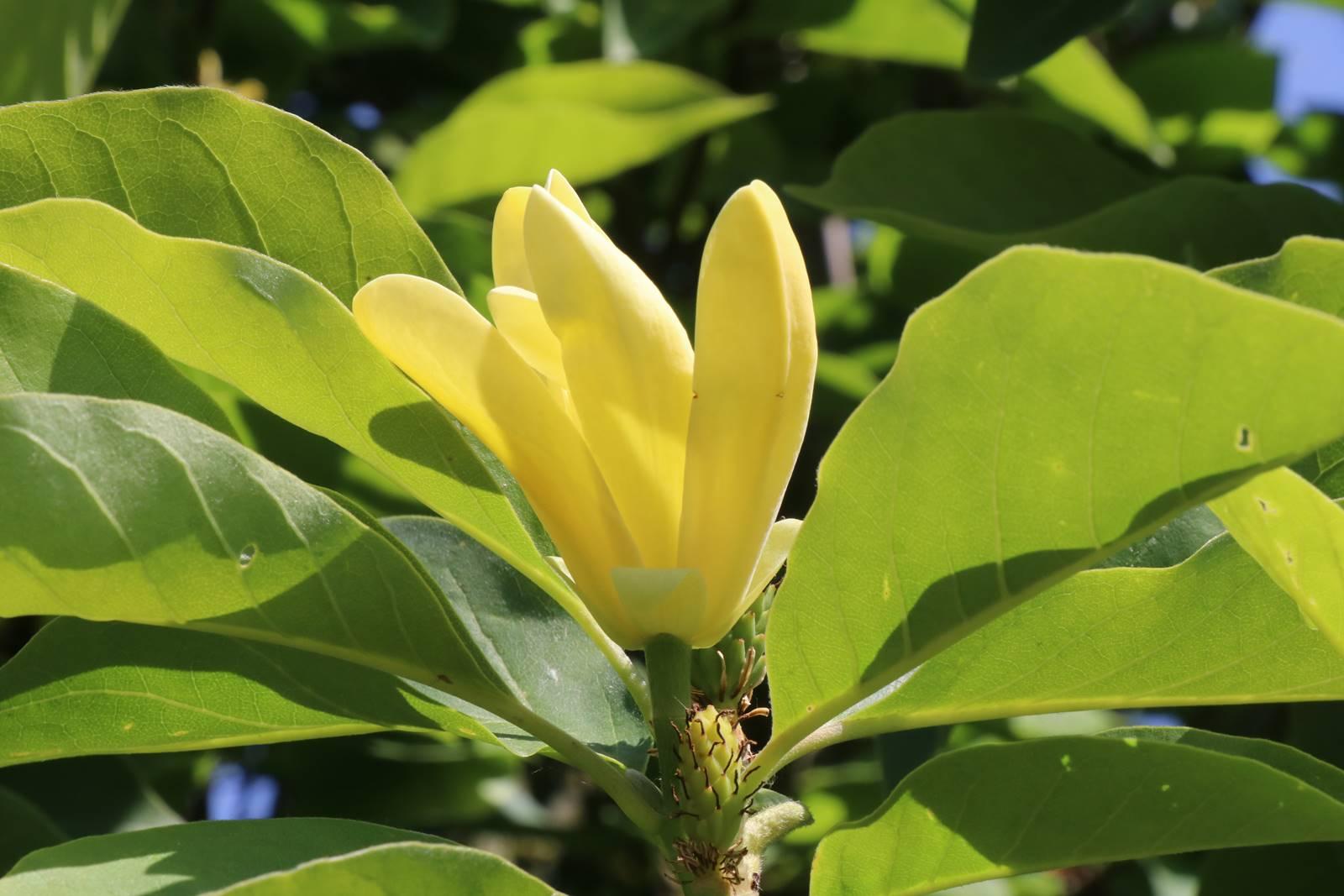 Magnolia x acuminata Daphne