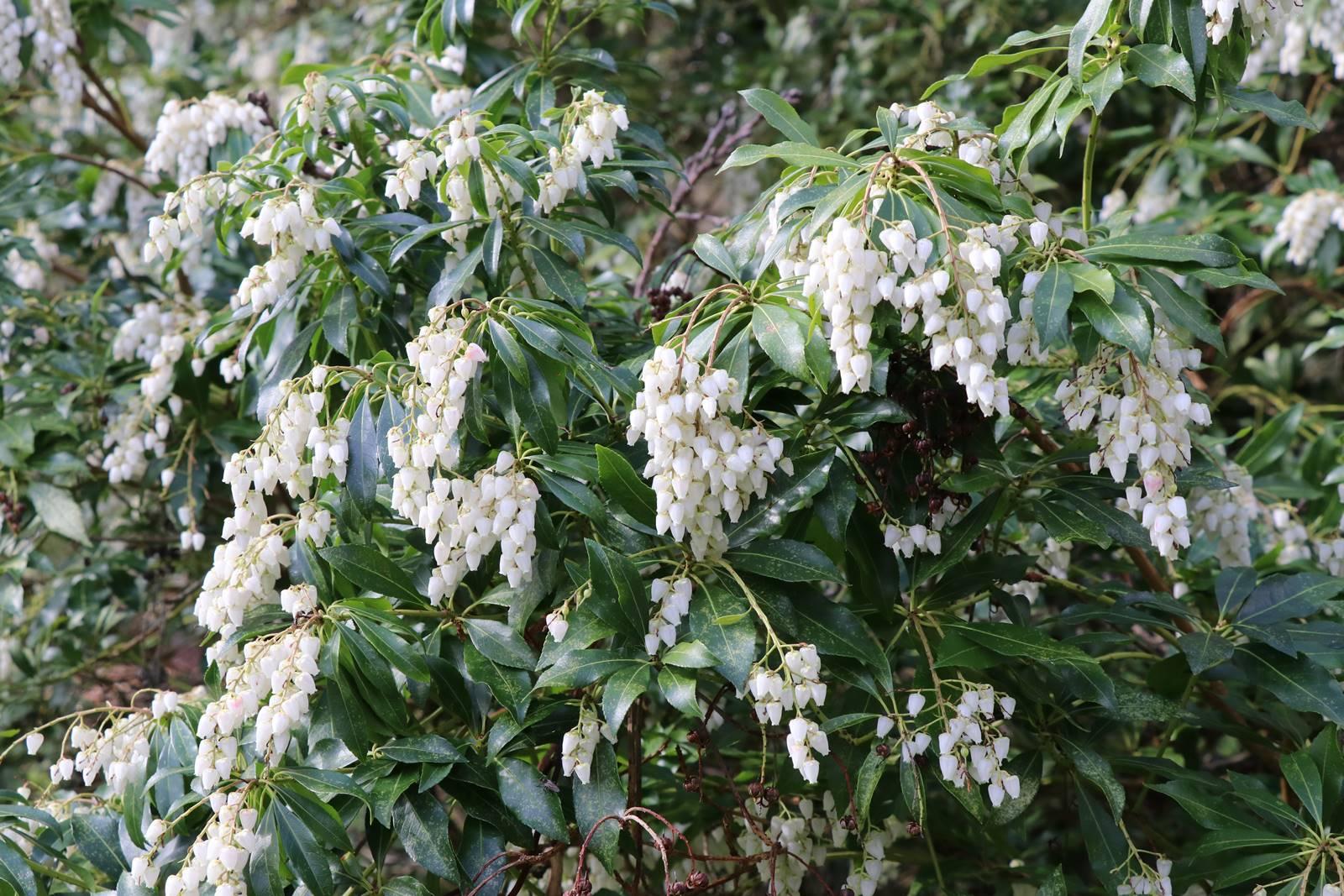 Pieris japonica Splendens