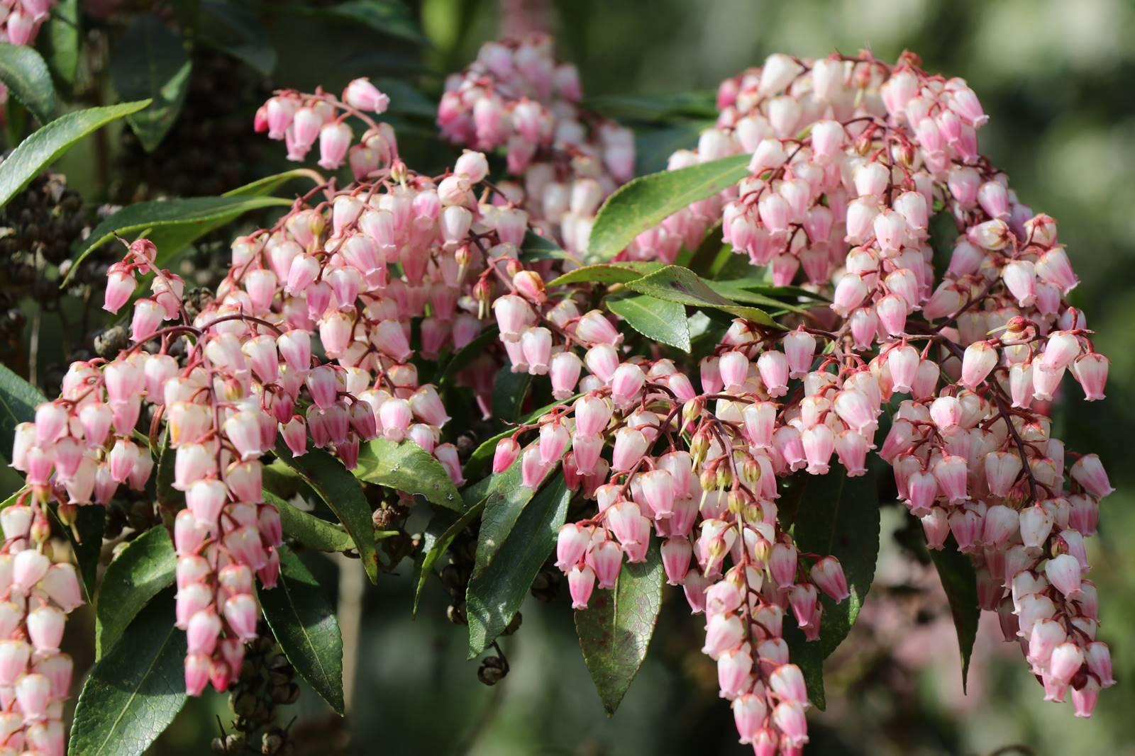 Pieris japonica Valley Rose