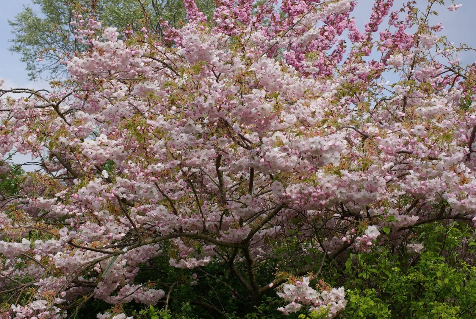 Prunus serrulata Shiro Fugen