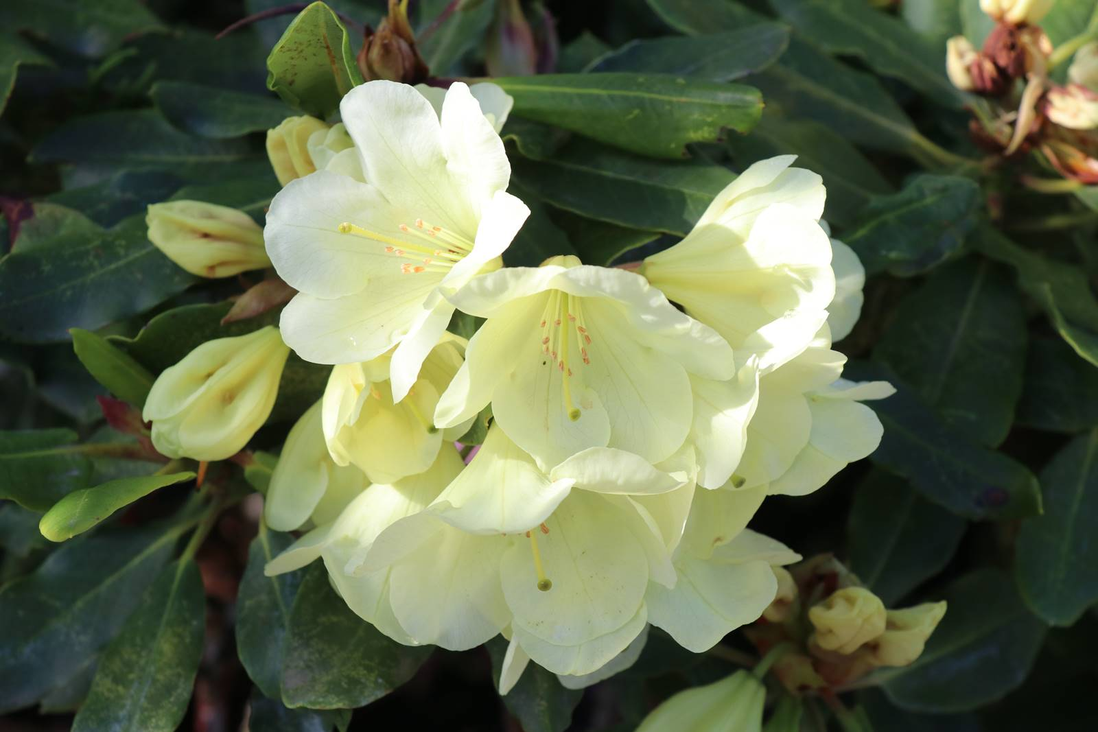 Rhododendron Haida Gold