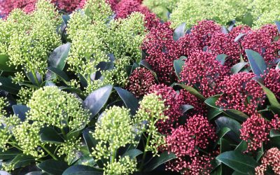 Skimmia, pour le jardin et la terrasse