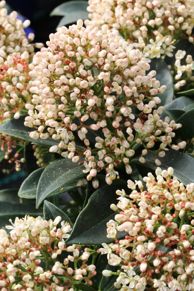 Skimmia japonica Marlot
