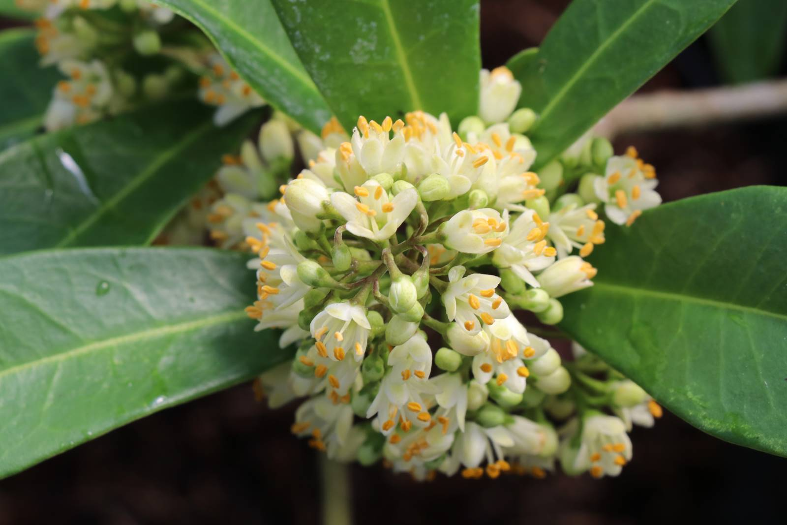 Skimmia japonica Fragrans Cloud