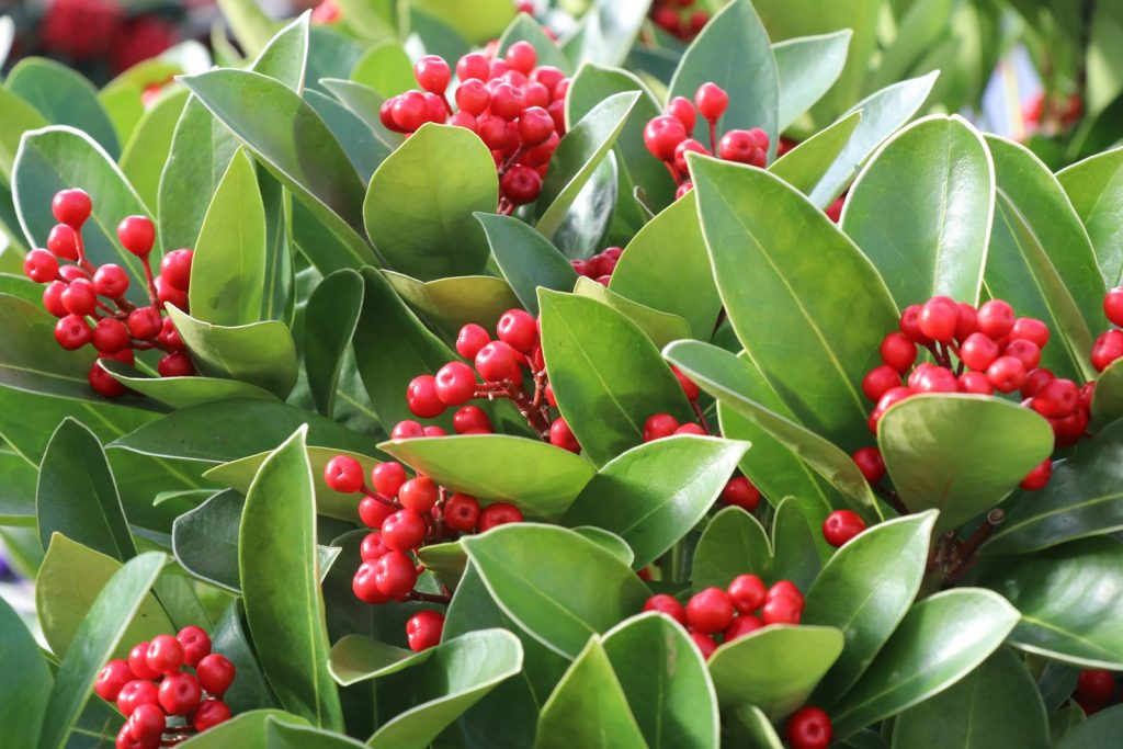 Skimmia japonica Obsession