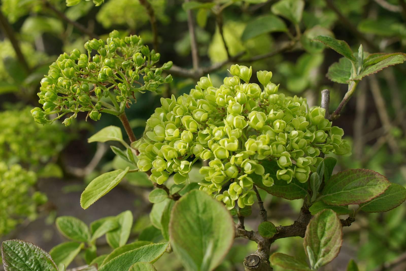 Viburnum plicatum Rotundifolium