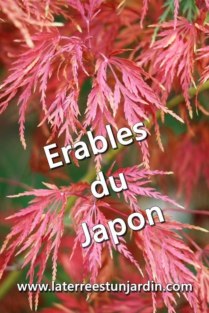Erable du Japon