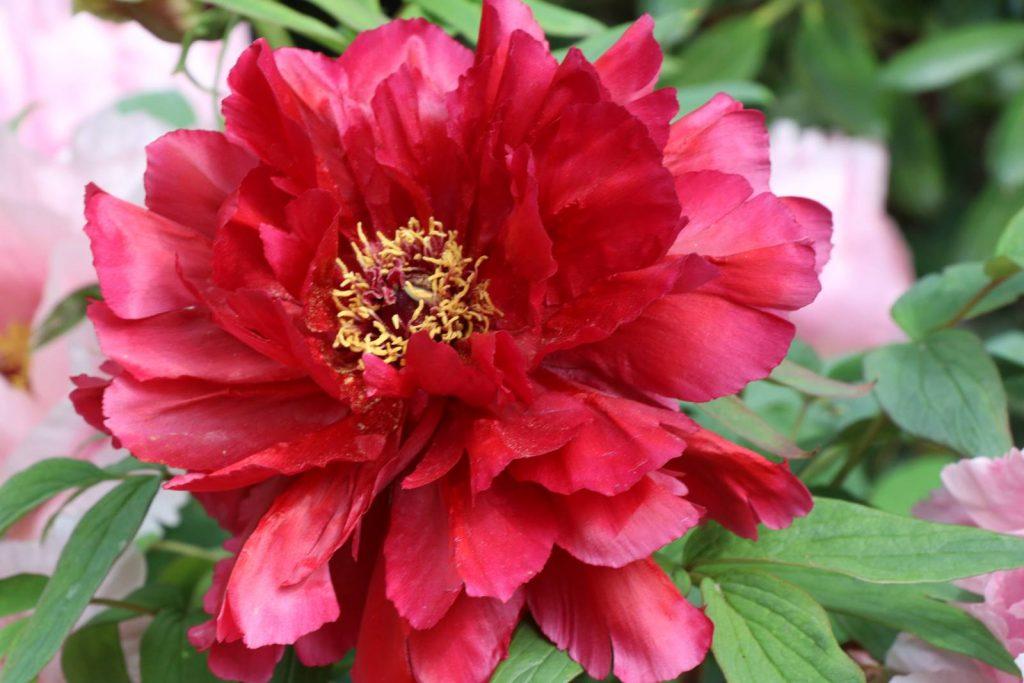 Paeonia suffruticosa Higurashi
