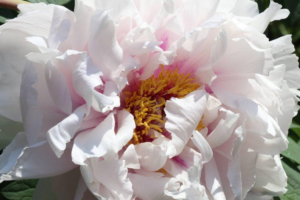 Paeonia suffruticosa Kock's Weiss
