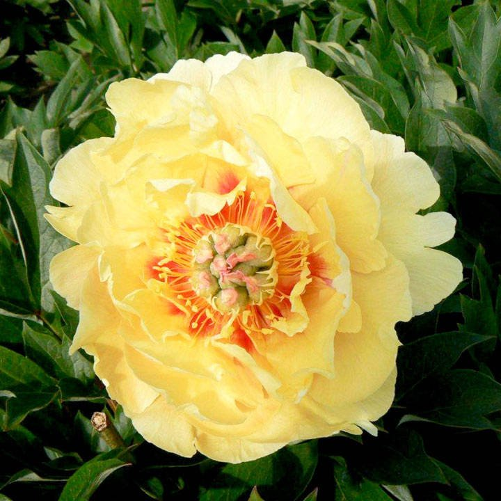 Paeonia x itoh Garden Treasure