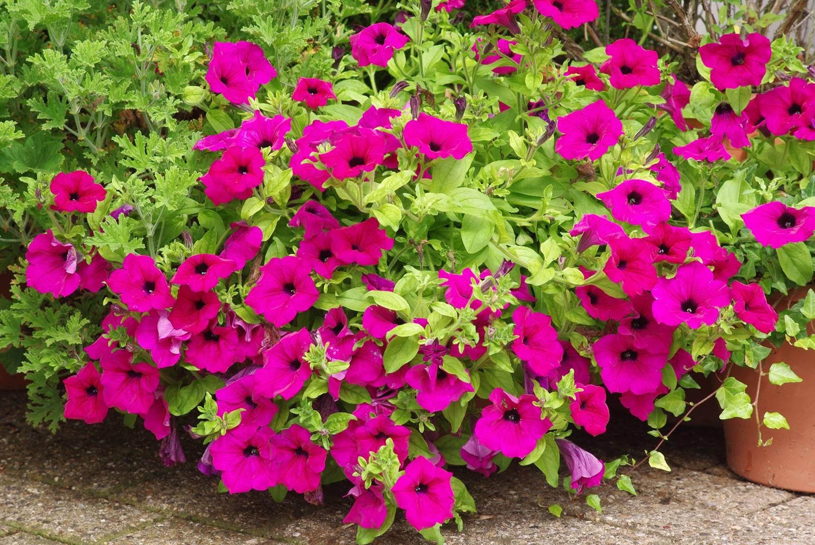 Plantes annuelles balcon