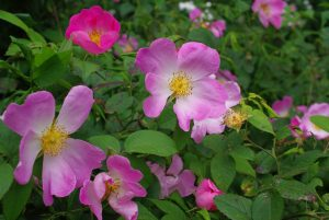 René Henoumont roses