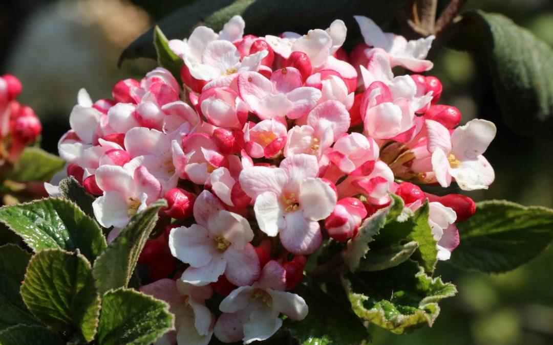 Viornes d'hiver, fleurs de porcelaine
