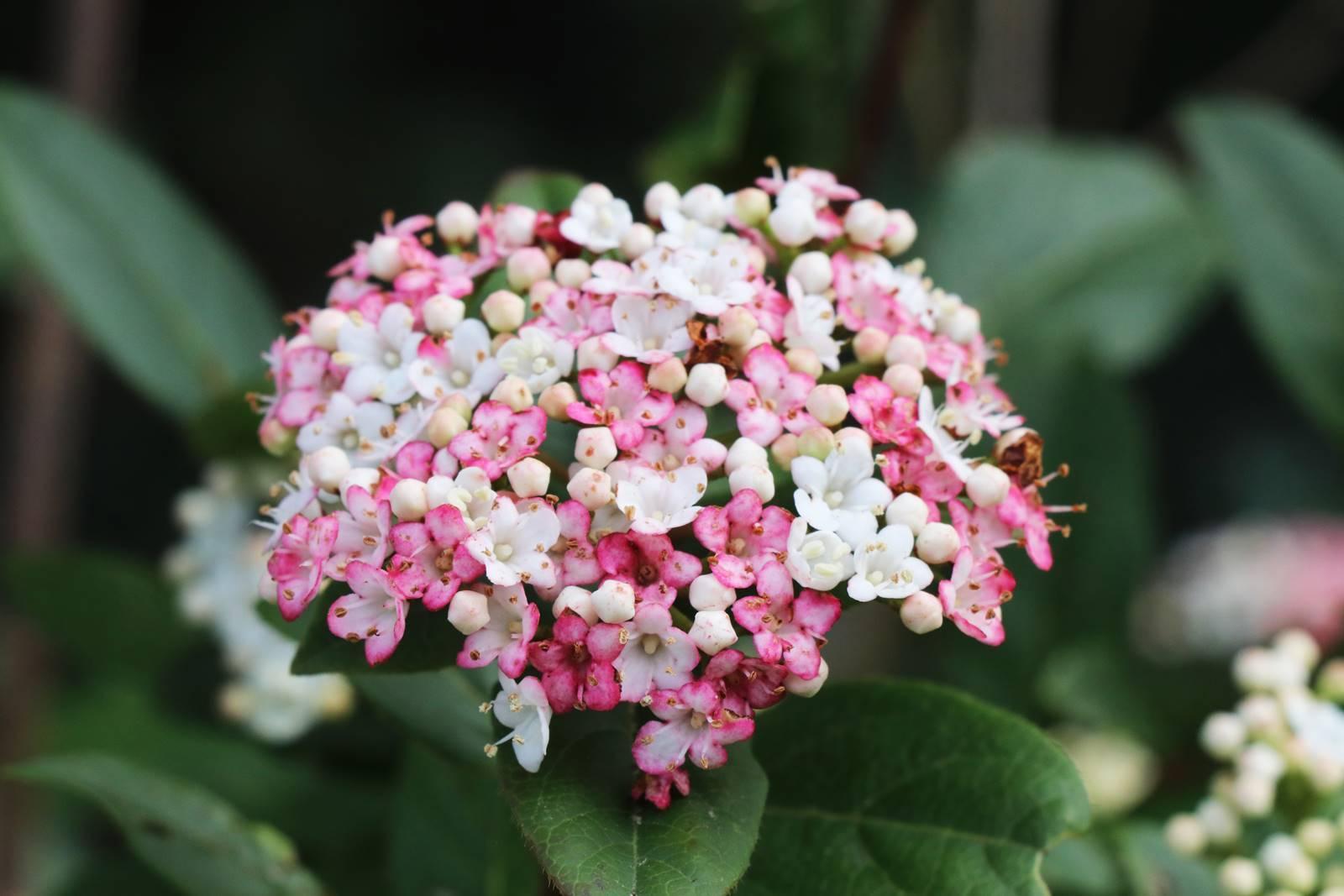 Viburnum hiver