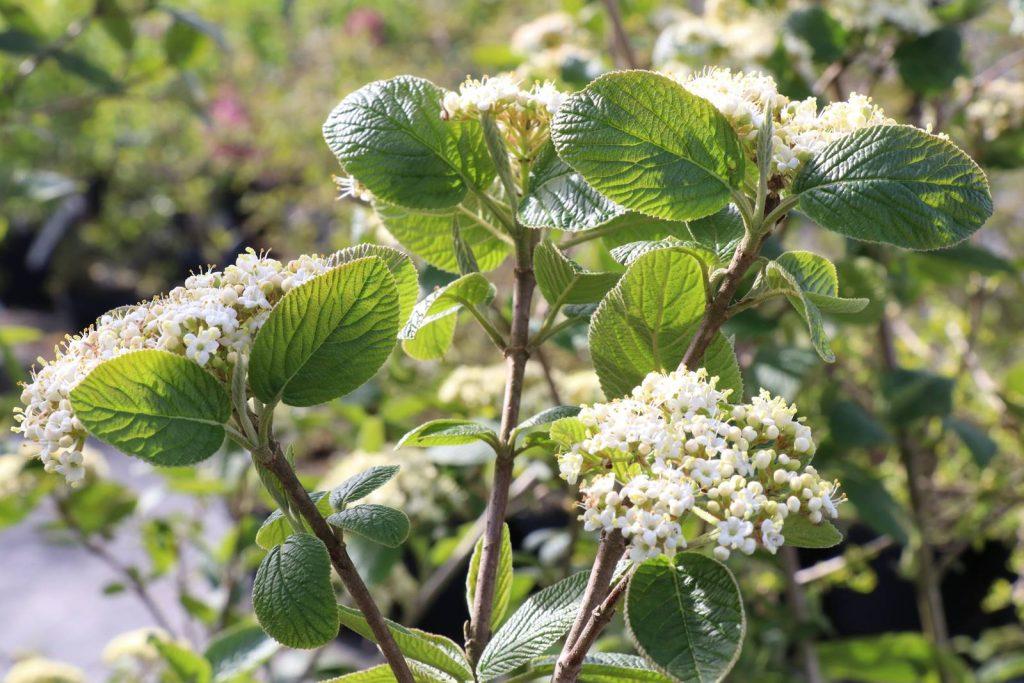 Viburnum lantana Mohican
