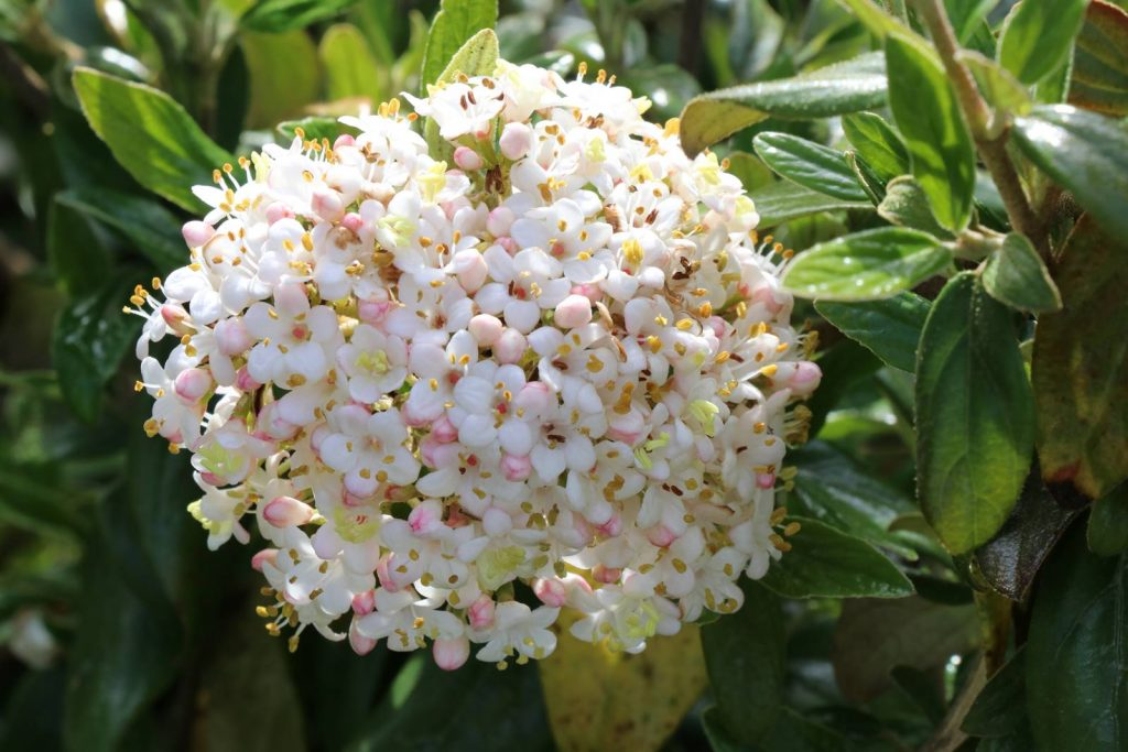 Viburnum x burkwoodii Conoy