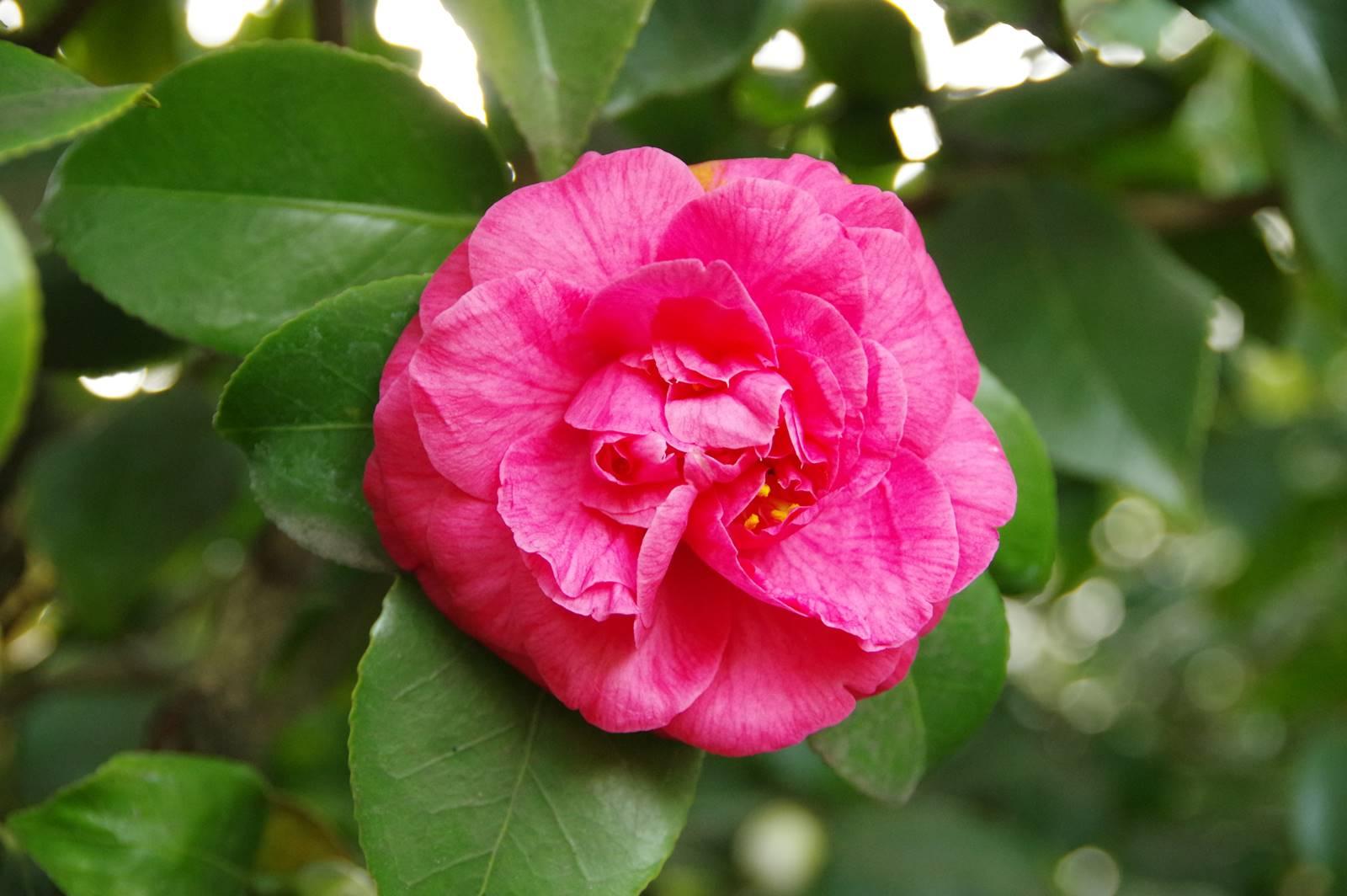 Camellia japonica Comte de Gomer