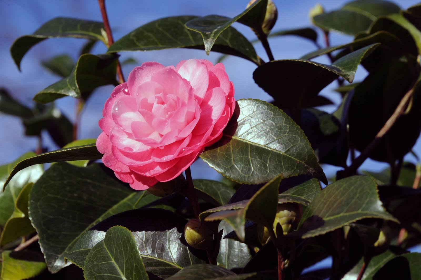 Camellia japonica Ville de Nantes