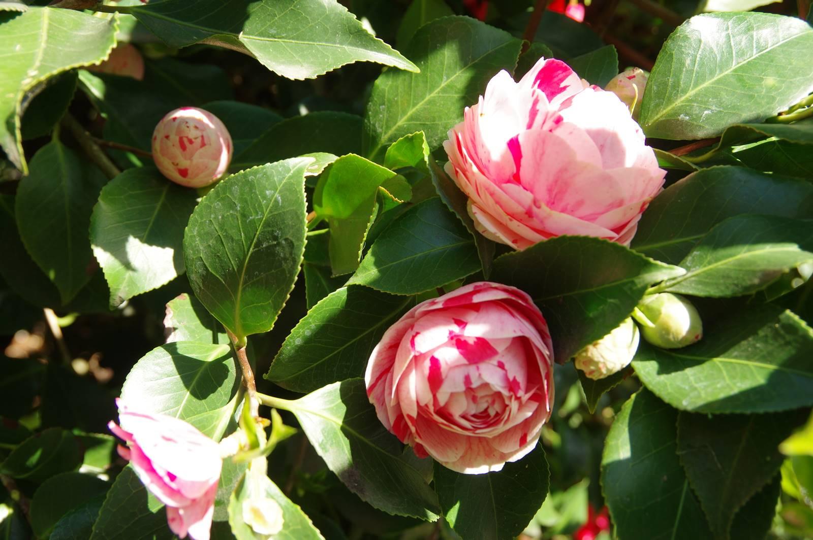Camellia japonica Zoraide Vanzi