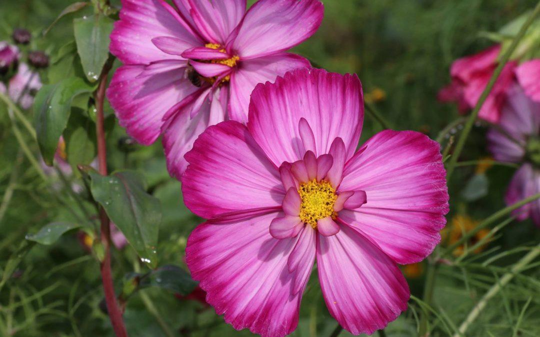 Fleurs annuelles, guide des semis