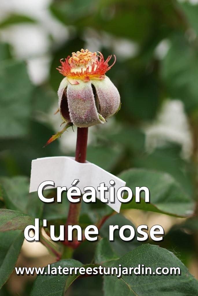 Création des roses