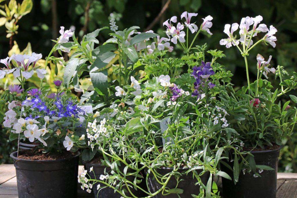 Fleurs annuelles balcon