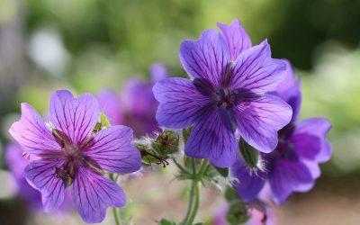 Geranium vivace, pour le jardin
