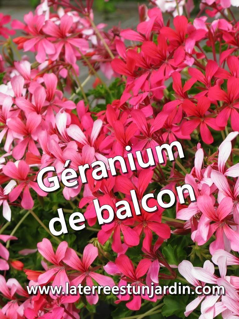 Géranium de balcon