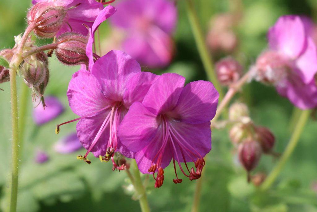 Geranium x cantabrigiense 'Crystal Rose'