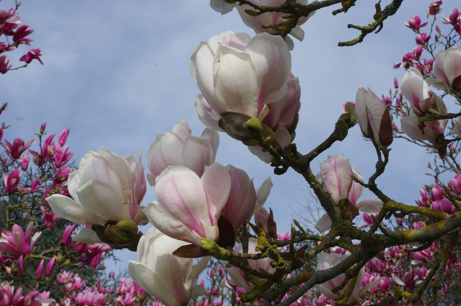 Magnolia soulangeana White Geant