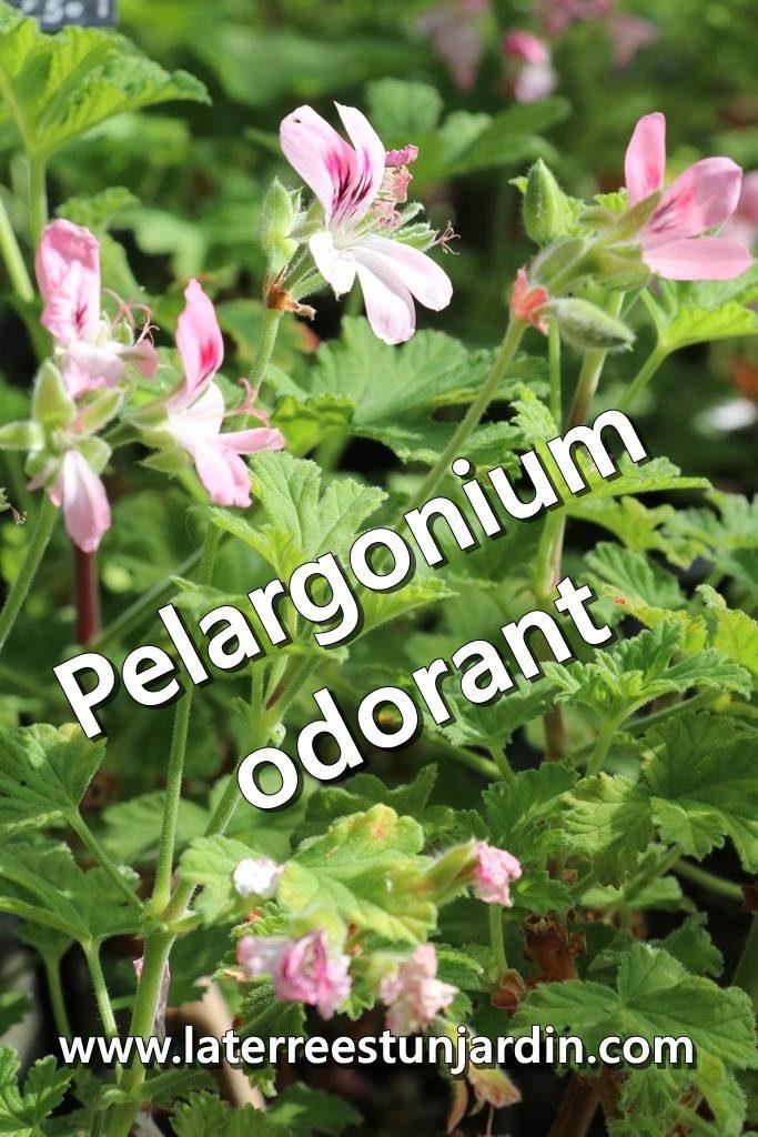 Pelargonium odorant