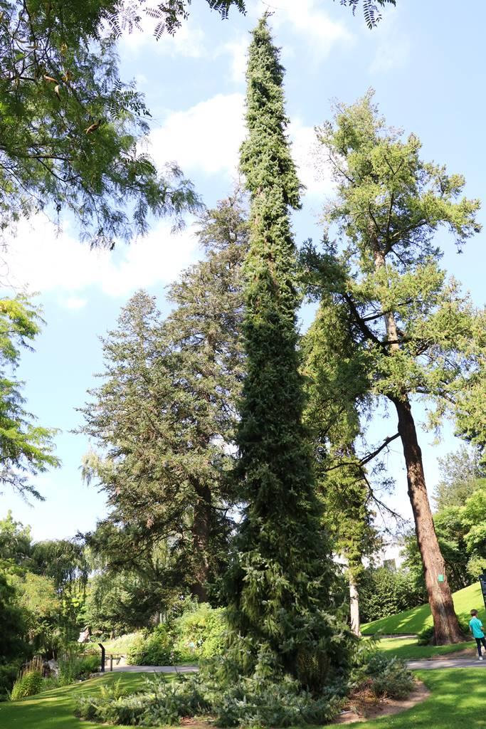 Picea omorica