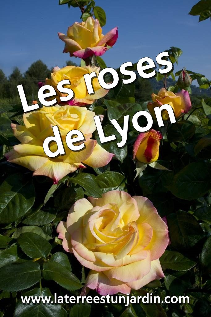 Roses de Lyon