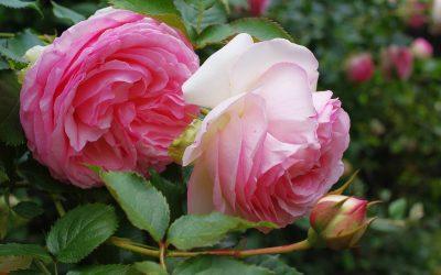 Meilland, des roses de légende