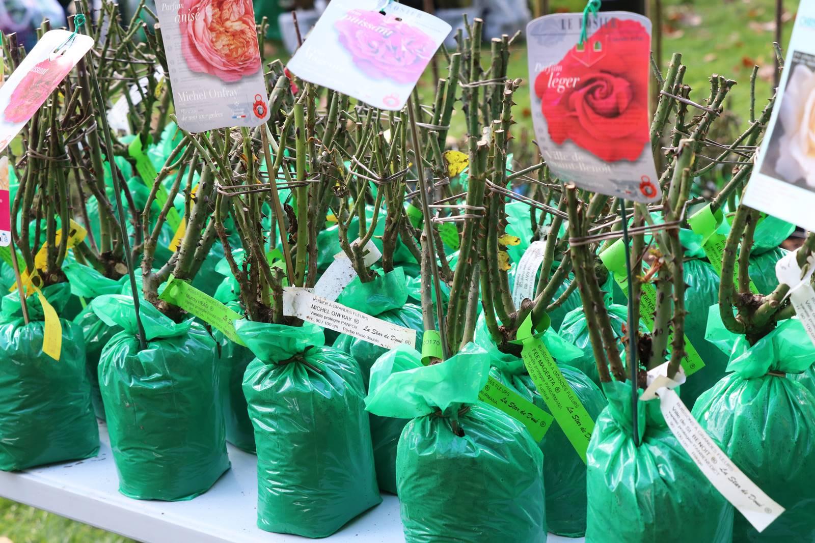 plantation rosiers
