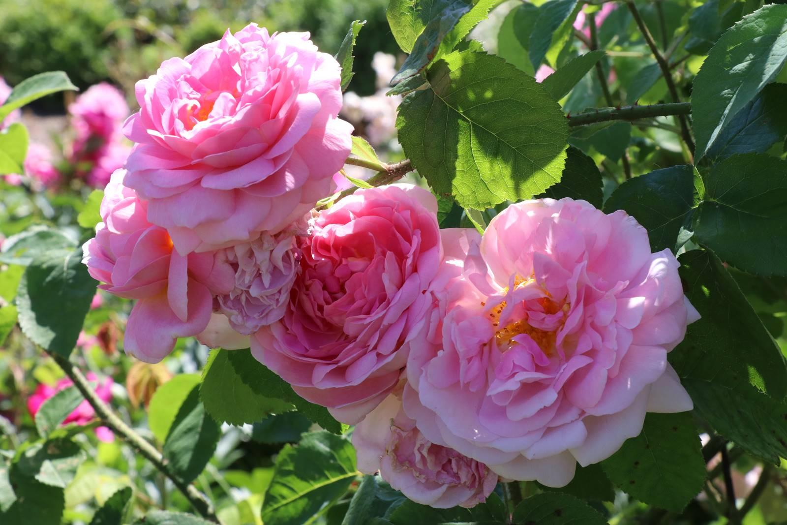 Santé des rosiers