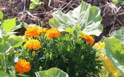 La permaculture au potager