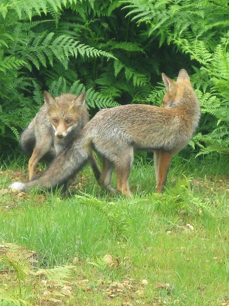 Bois Eloi renards
