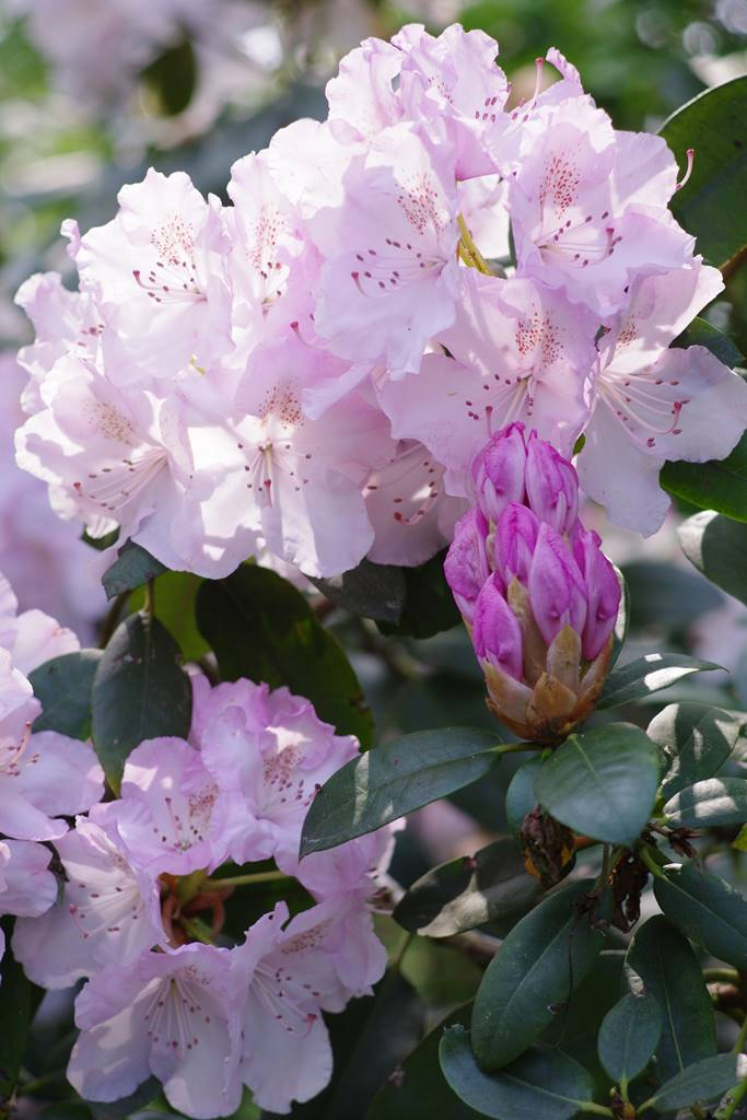 Bois Eloi rhododendrons