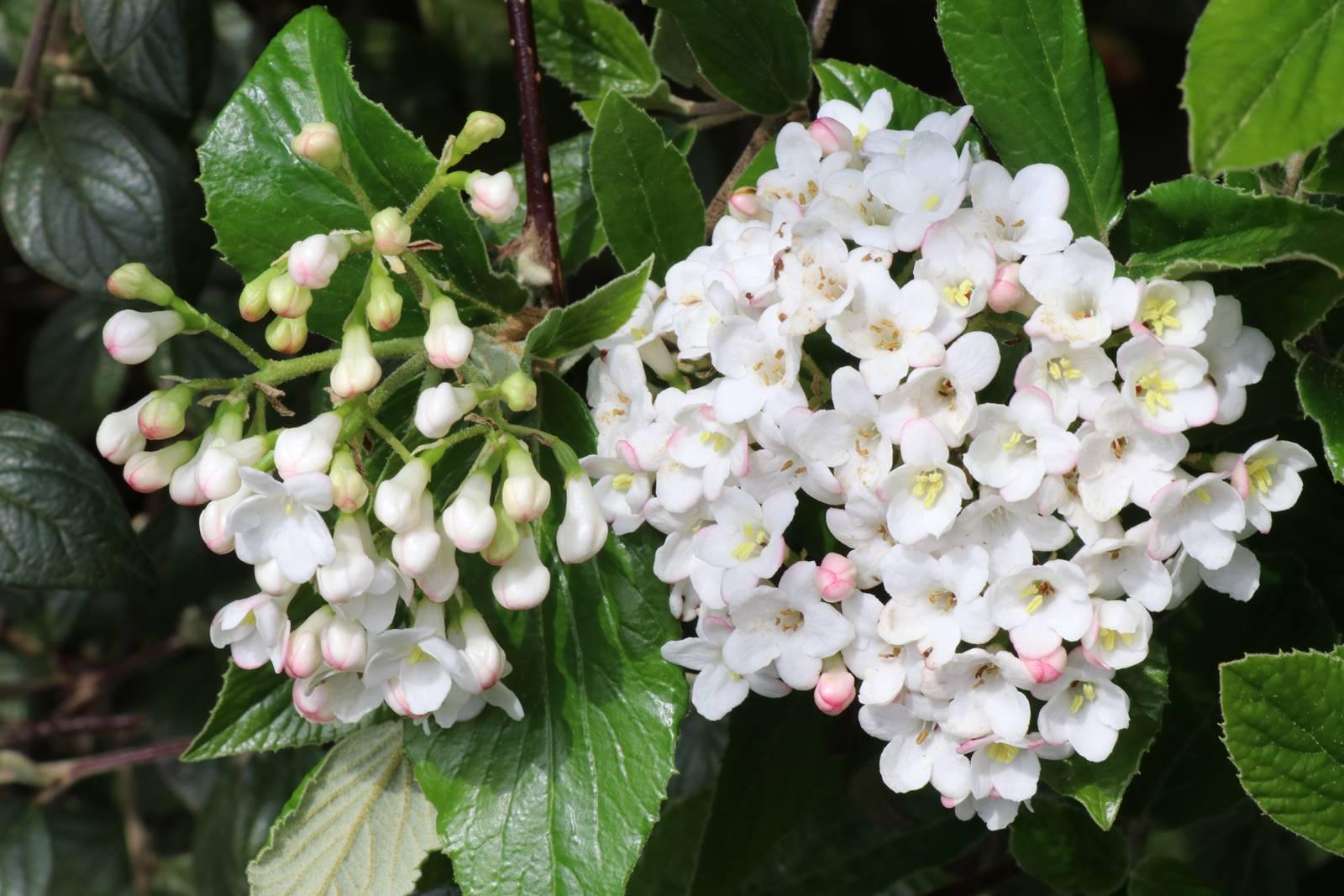 Bois Eloi Viburnum burwoodii